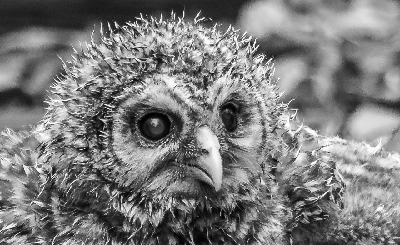 Barred Owlet - Scott Landseidel - MNPC