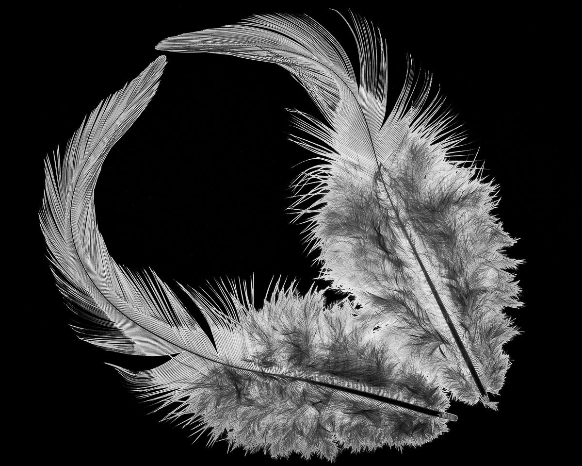 Firey Feathers - Paul Bullock - TNCPC