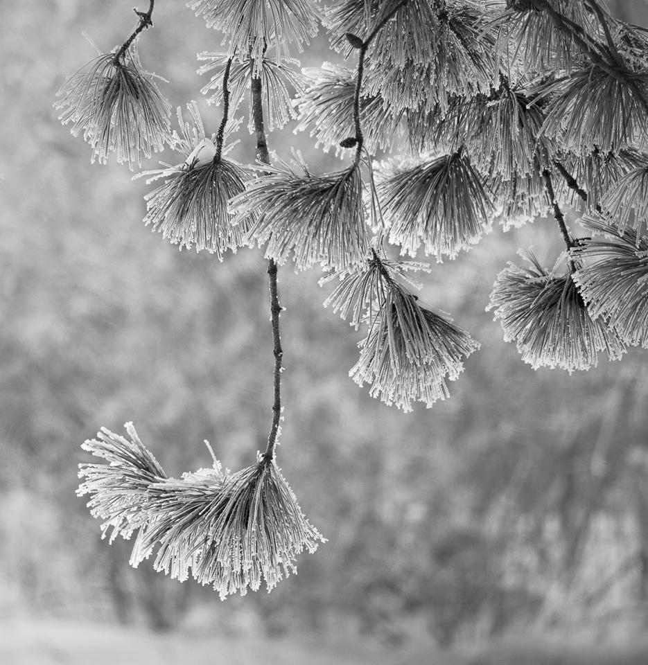 Dancing Pine Needles - Deanne Probst - MNPC