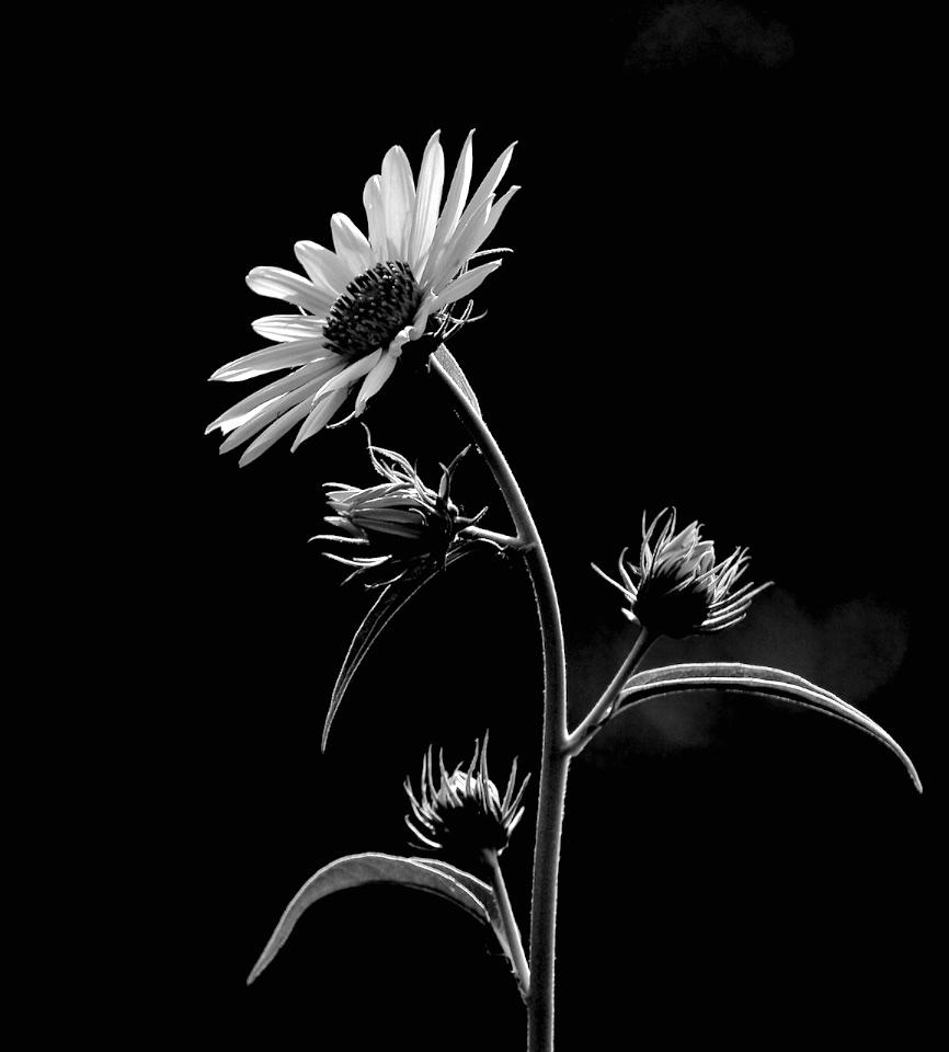 Early Morning Sunflower - Don Specht - MNPC