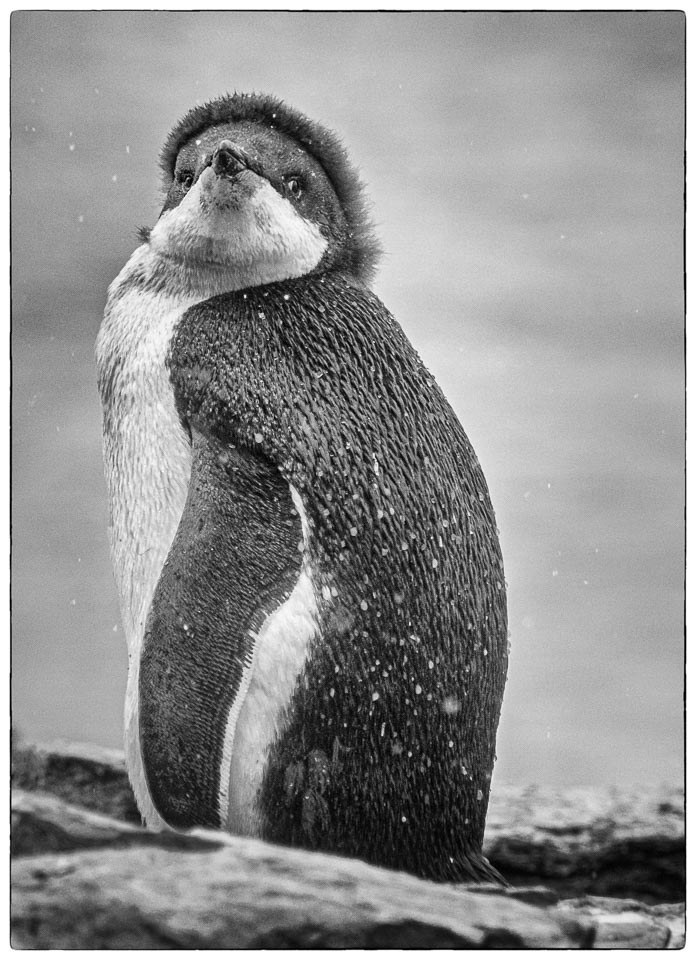 Penguin Adele - Linda Rutherford - WCPC