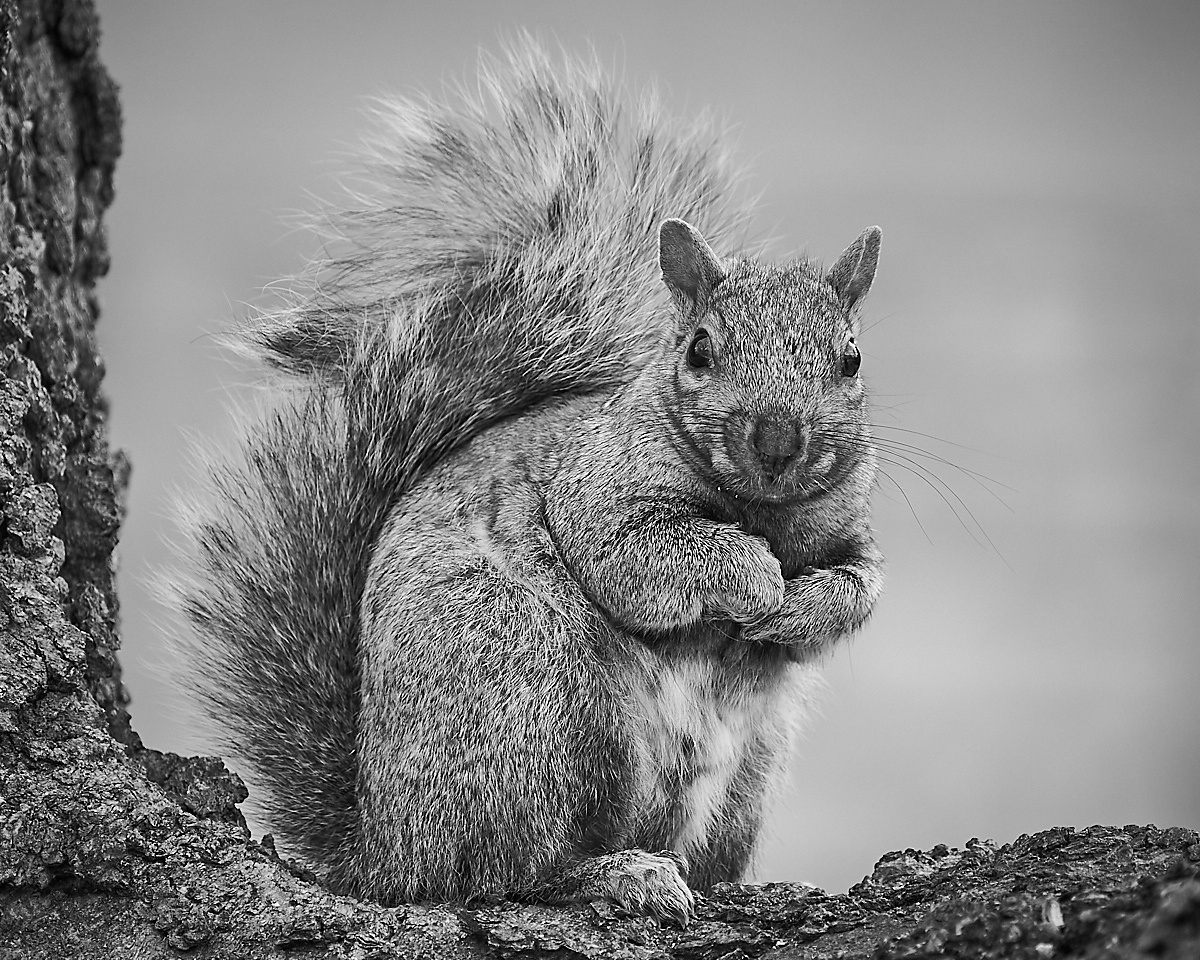 Squirrel - Mike Fuerst - MPS