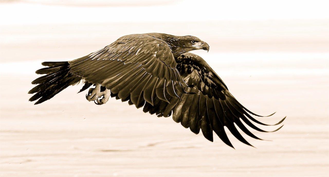 Eagle in Flight - Don Specht - MNPC