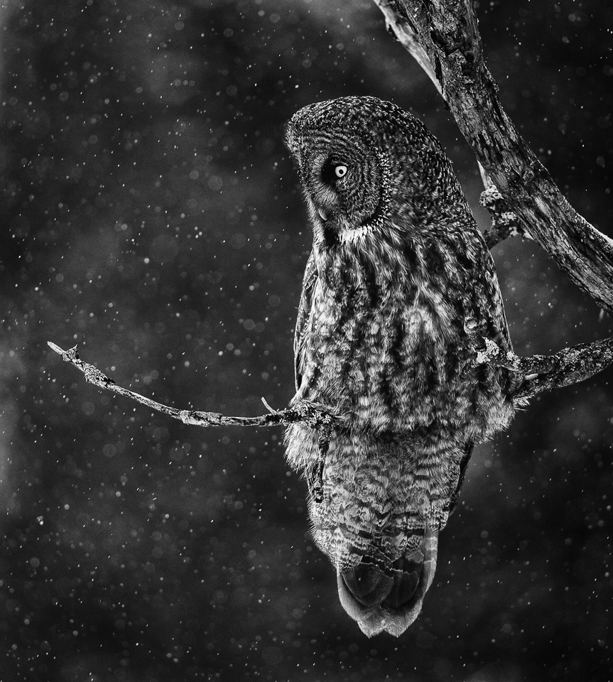 Honorable Mention - Great Gray Owl Hunting - Joe Fierst - Minnesota Nature Photography Club