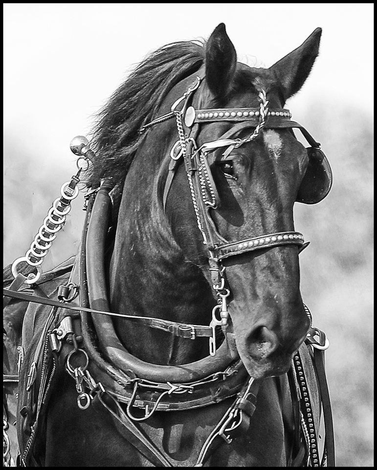 Honorable Mention - Decked Out for the Show Ring - Ronnie Hartman - Minneapolis Photographic Society