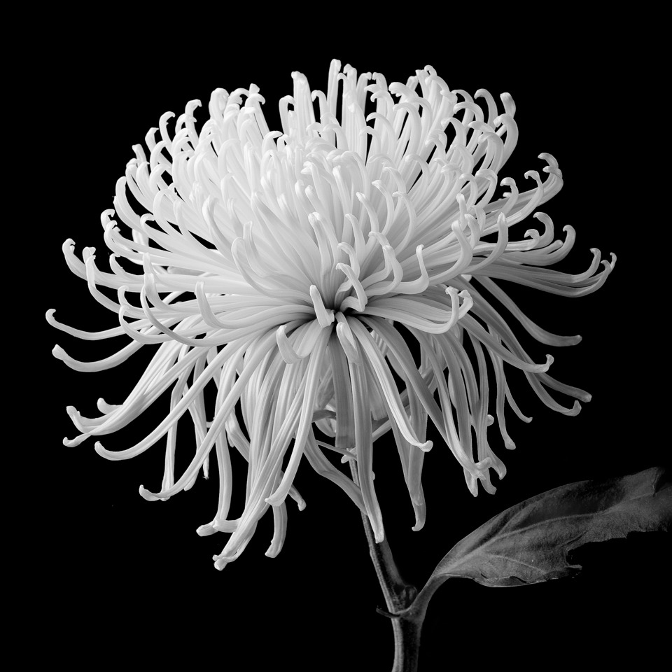 Honorable Mention - Spider Mum - Terry Butler - Western Wisconsin Photography Club
