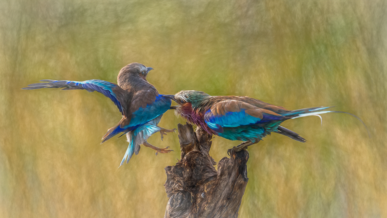 Lilac-Breasted Roller Grabs Mom - Diane Herman - MNPC