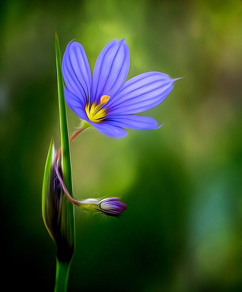 Prairie Blue-Eyed Grass - Don Specht - MNPC