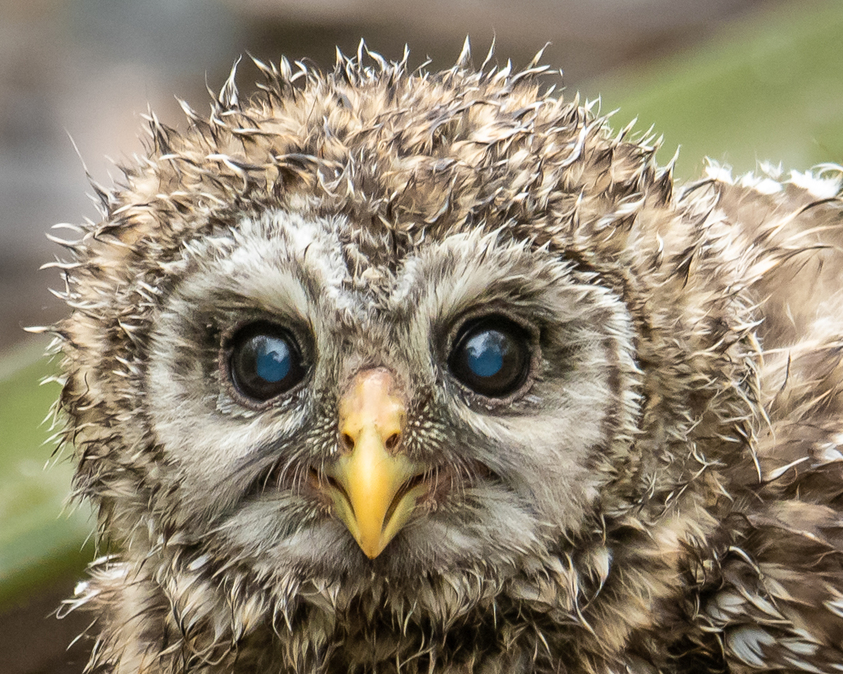 Baby Blue Eyed Barred Owl - Scott Landseidel - MNPC