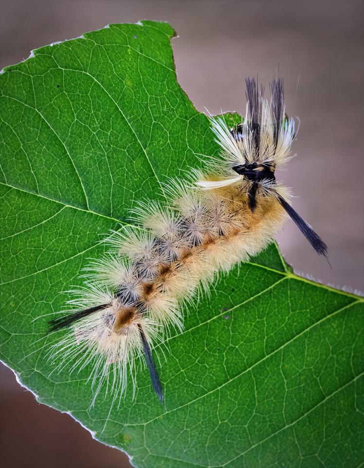 Banded Tussock Moth Caterpillar - Peggy  Boike - SCVCC