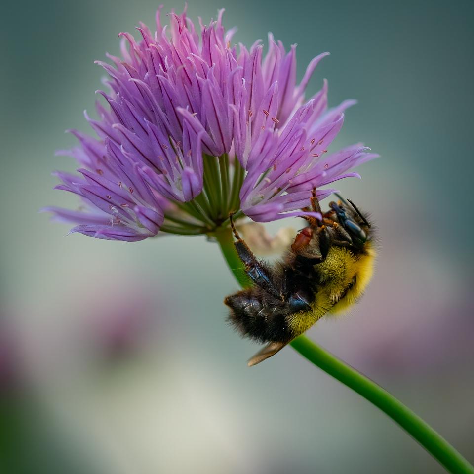 Bee  on Chive Flower - Dennis Hoyne - NMPC