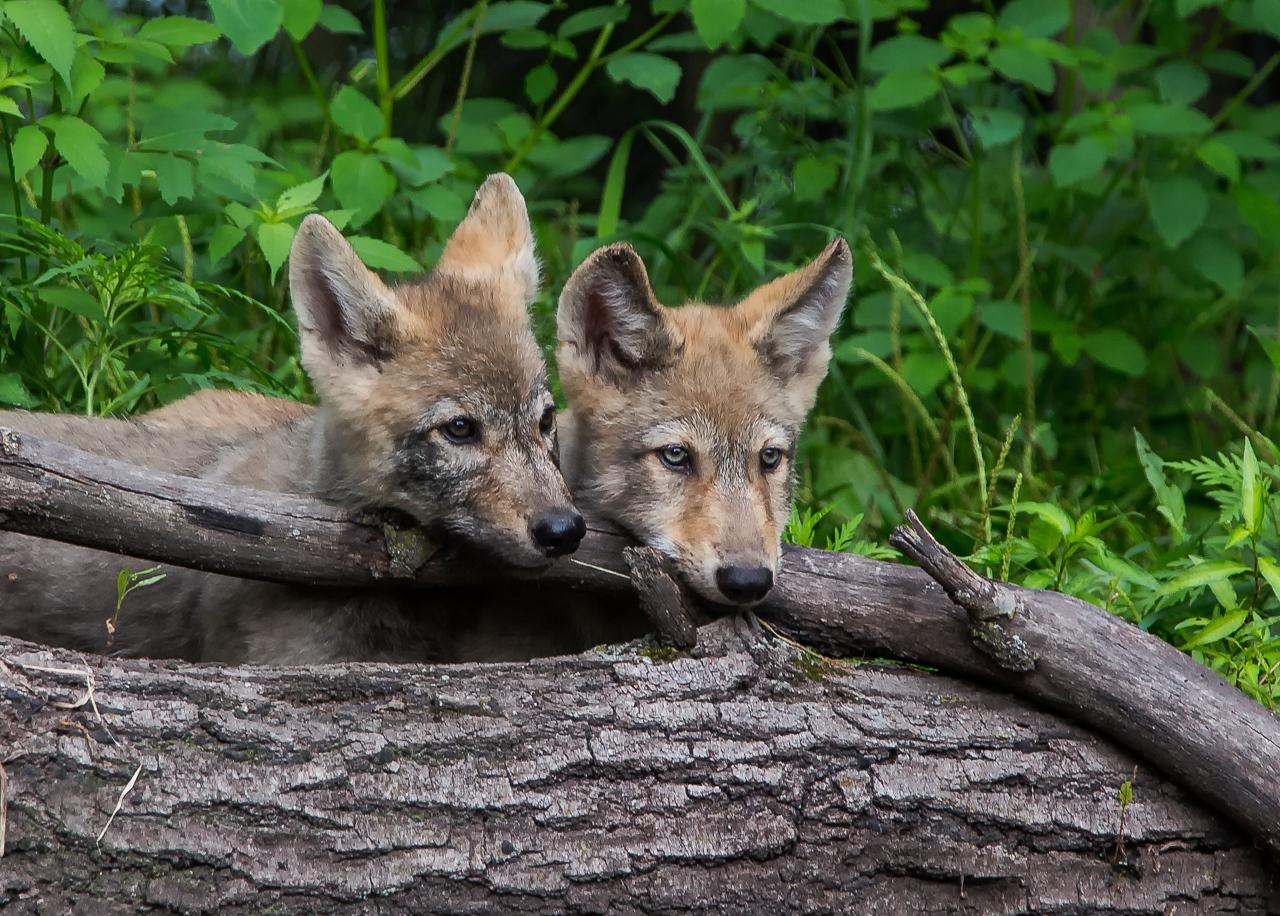 Curious Wolf Puppies - Larry Weinman - WWPC