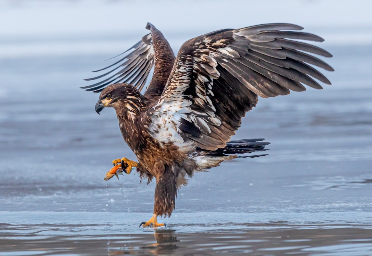 Eagle With Fish - Don Specht - MNPC