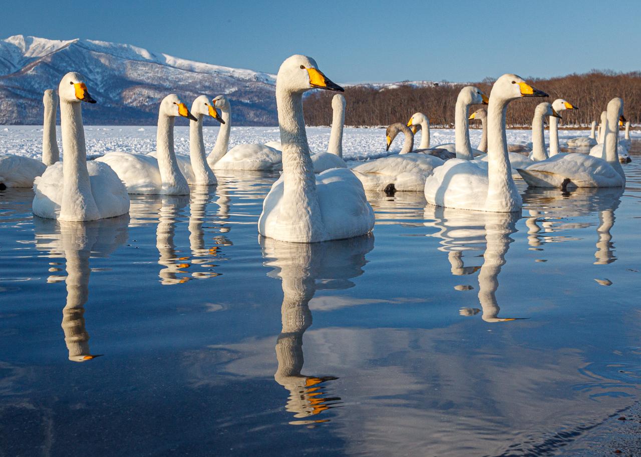 Whooper Swans - Karl Fiegenschuh - MNPC
