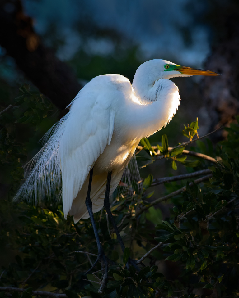 Great White Egret - Doug Heimstead - NMPC