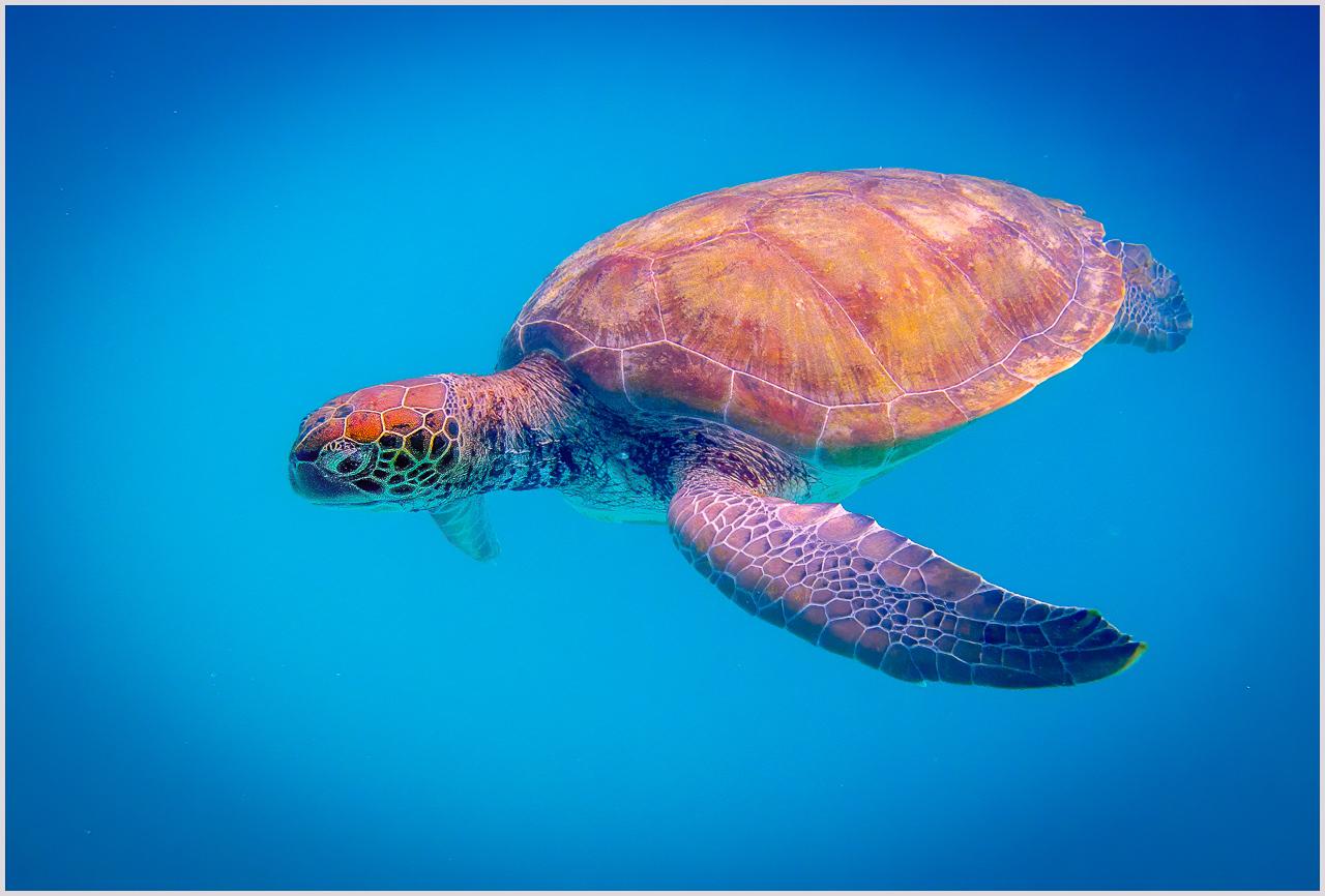 Green Sea Turtle in Barbados - Roy Hakala - SPCC