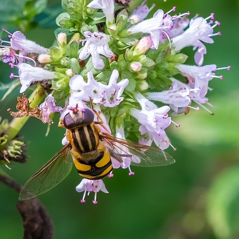 Hover Fly on Oregano Flower - Dennis Hoyne - NMPC