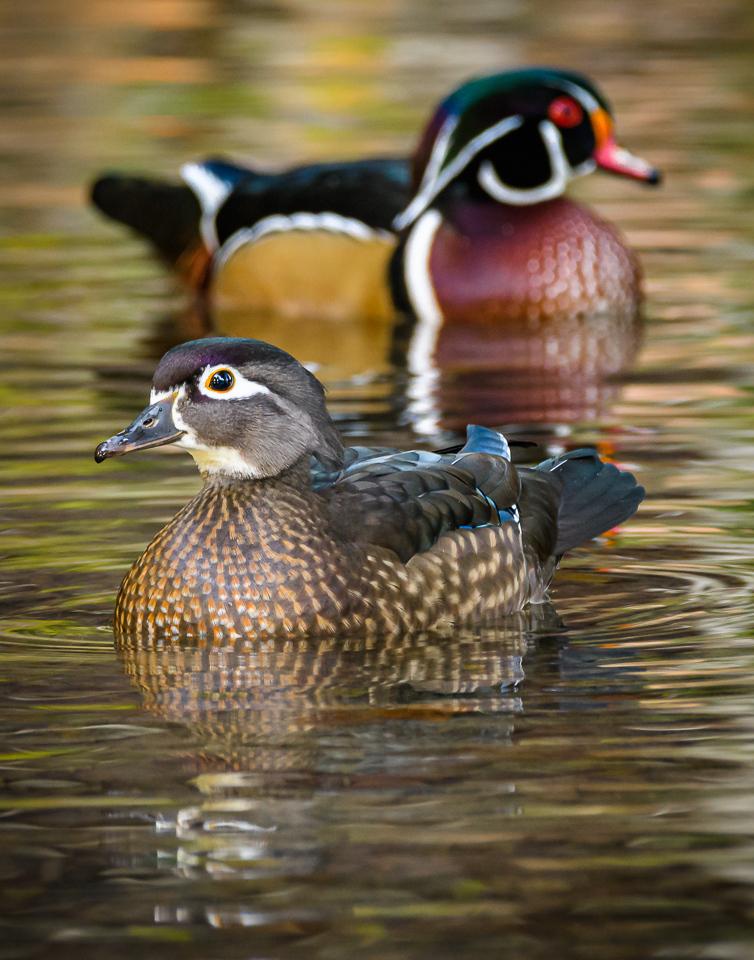 Female Wood Duck - David Perez - MVPC