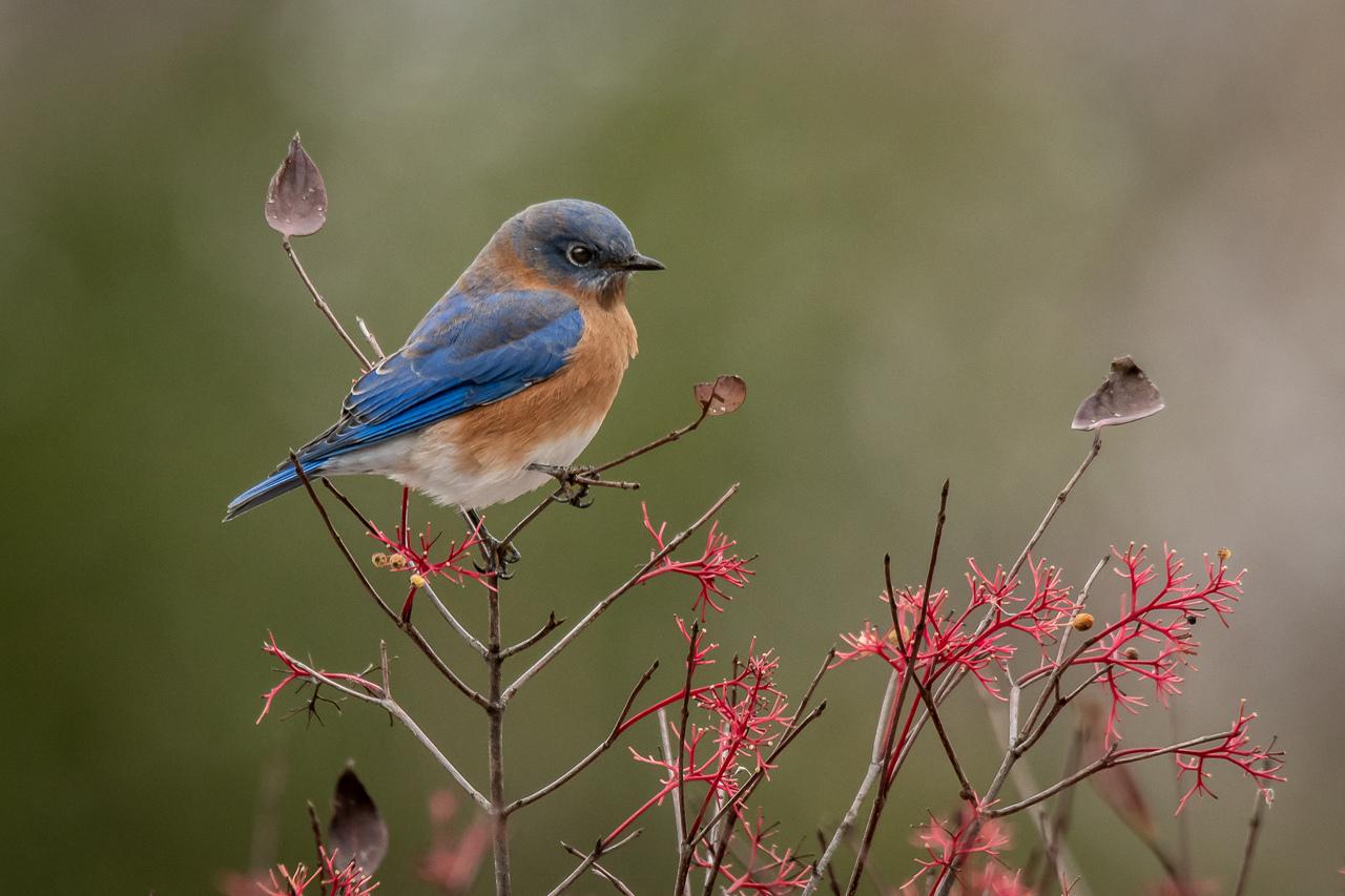 Blue Bird Three Leaves - Scott Landseidel - MNPC