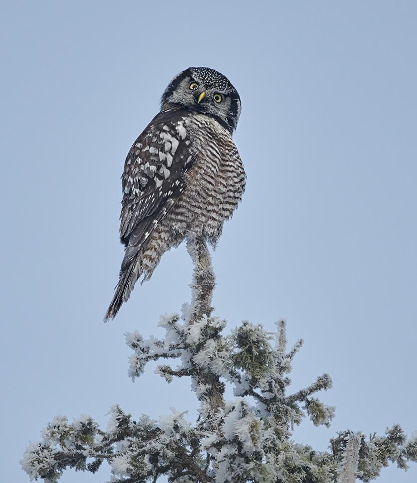 Frosty Hawk Owl - Paul Kammen - MNPC