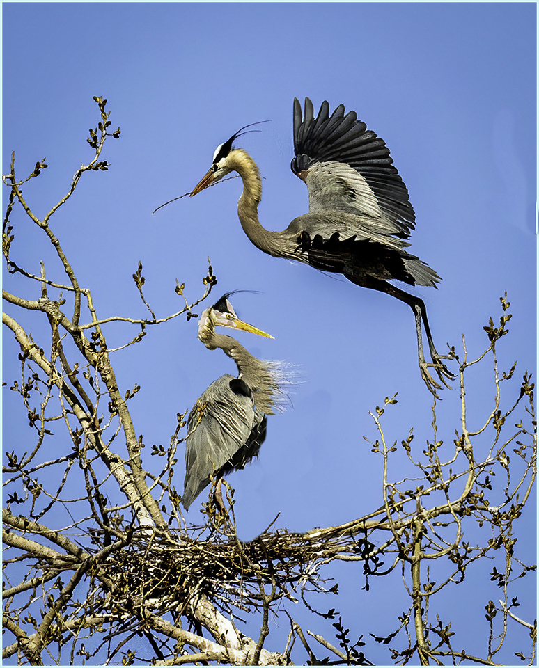 Herons Nesting - Roy Hakala - SPCC