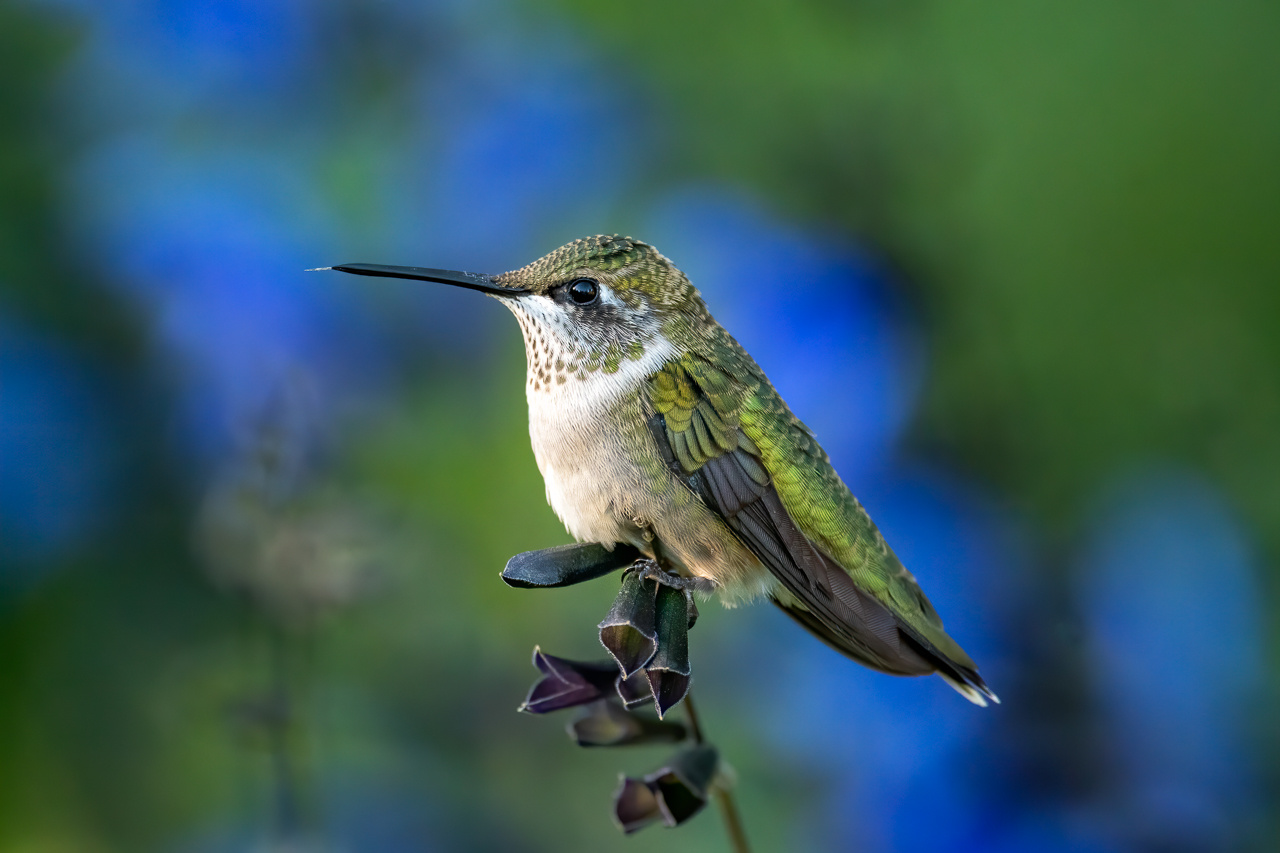 Hummingbird Beauty - Diane Herman - MNPC