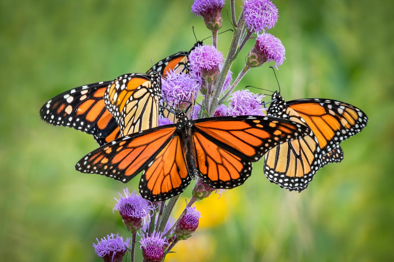 Hungry Monarchs - Marianne Diericks - WWPC