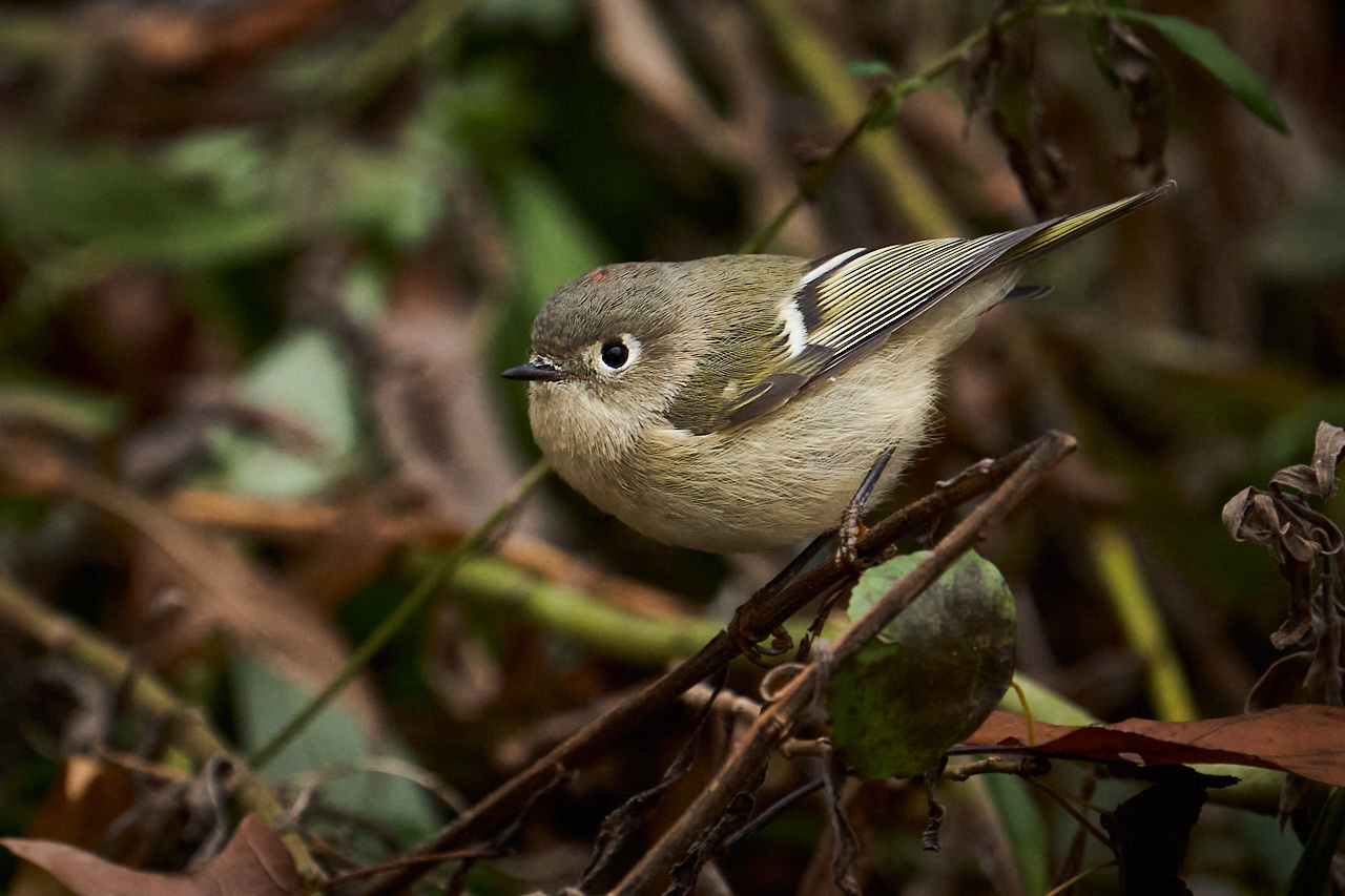 Ruby-crowned-Kinglet - Mike Fuerst - MPS