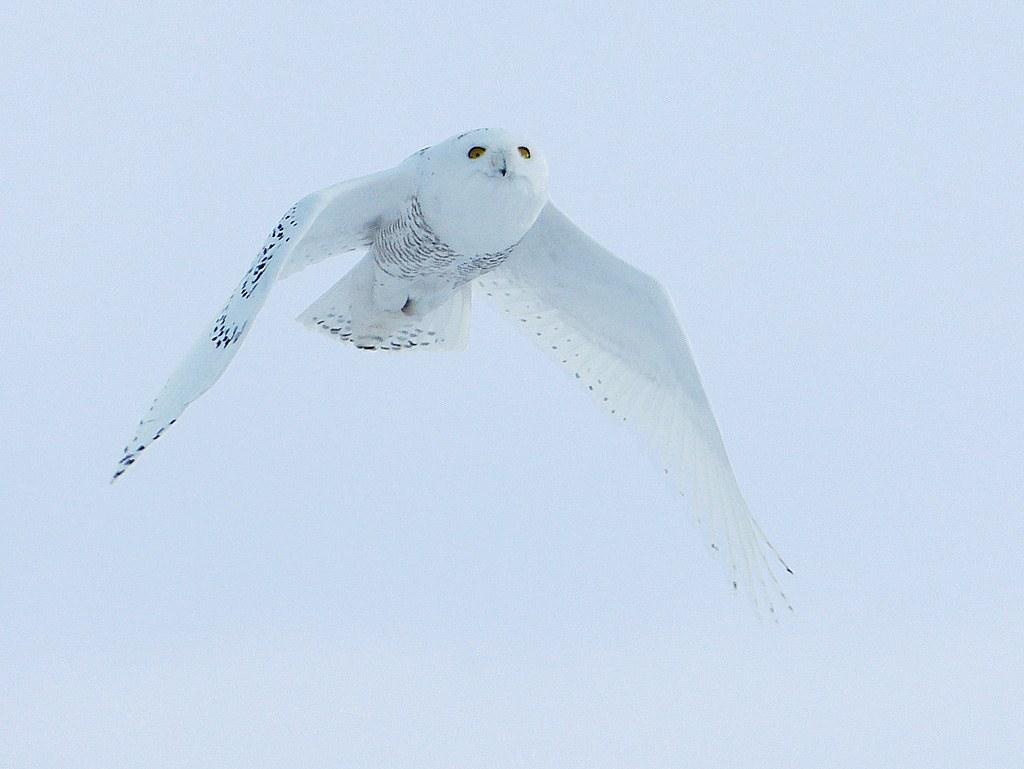 Snowy Owl - Mark Stonich - FSSPCC