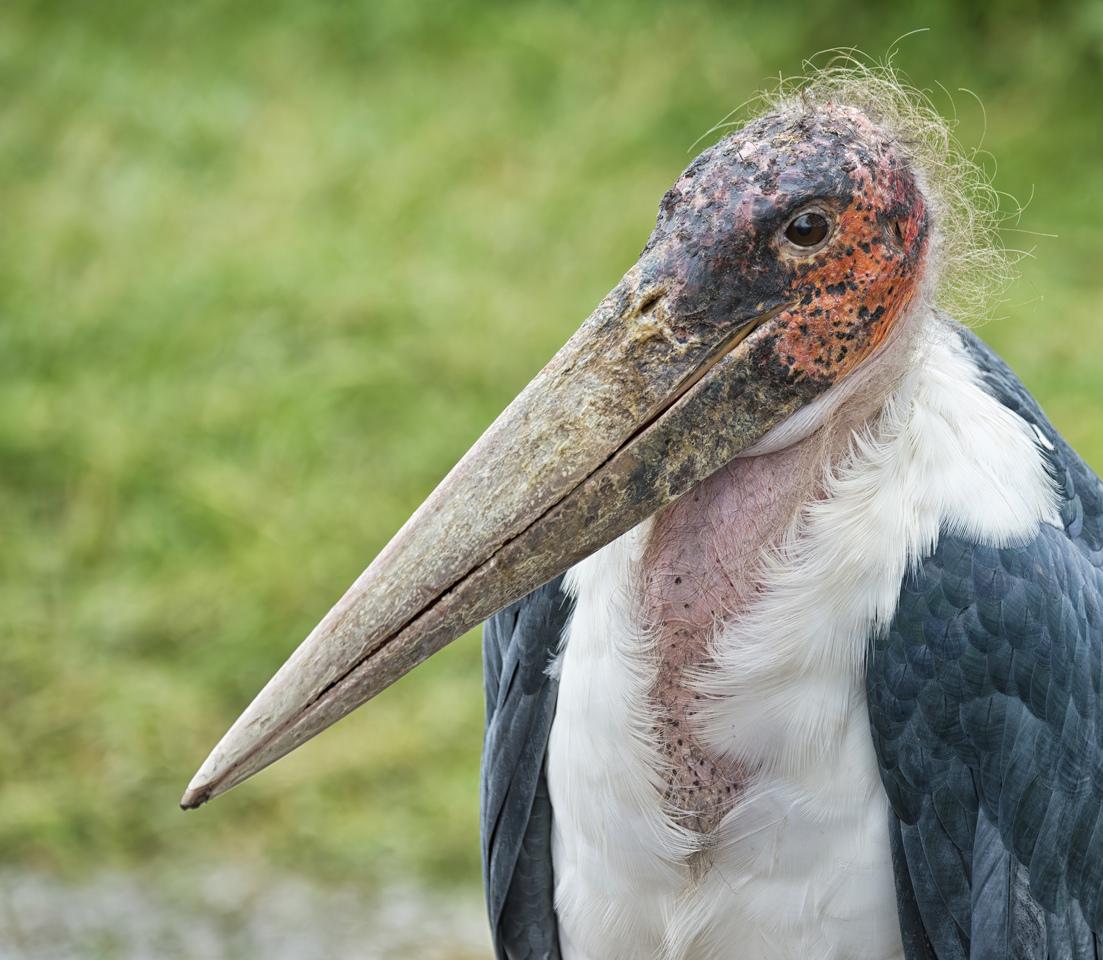 Vulture - Kathy Wall - NMPC