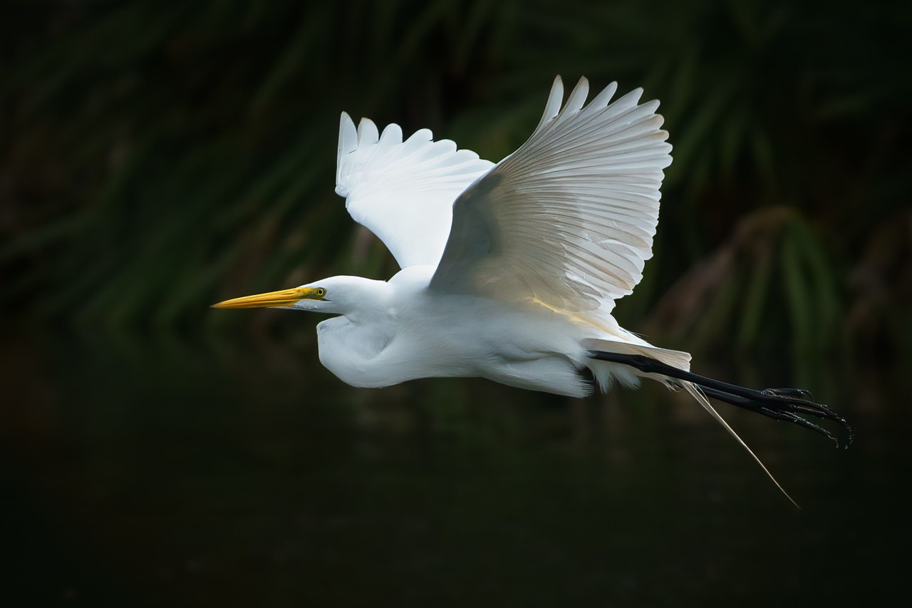 White Egret in Flight I - Sandra Swanson - MNPC