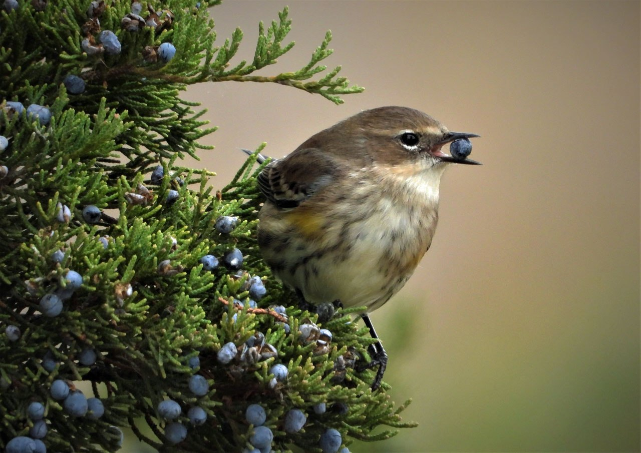 Yellow-Rumped Warbler and Berry - Janet Peterson - FSSPCC