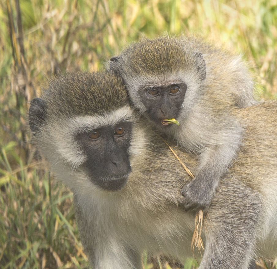 Baby Monkey and Mom - Kathy Wall - NMPC