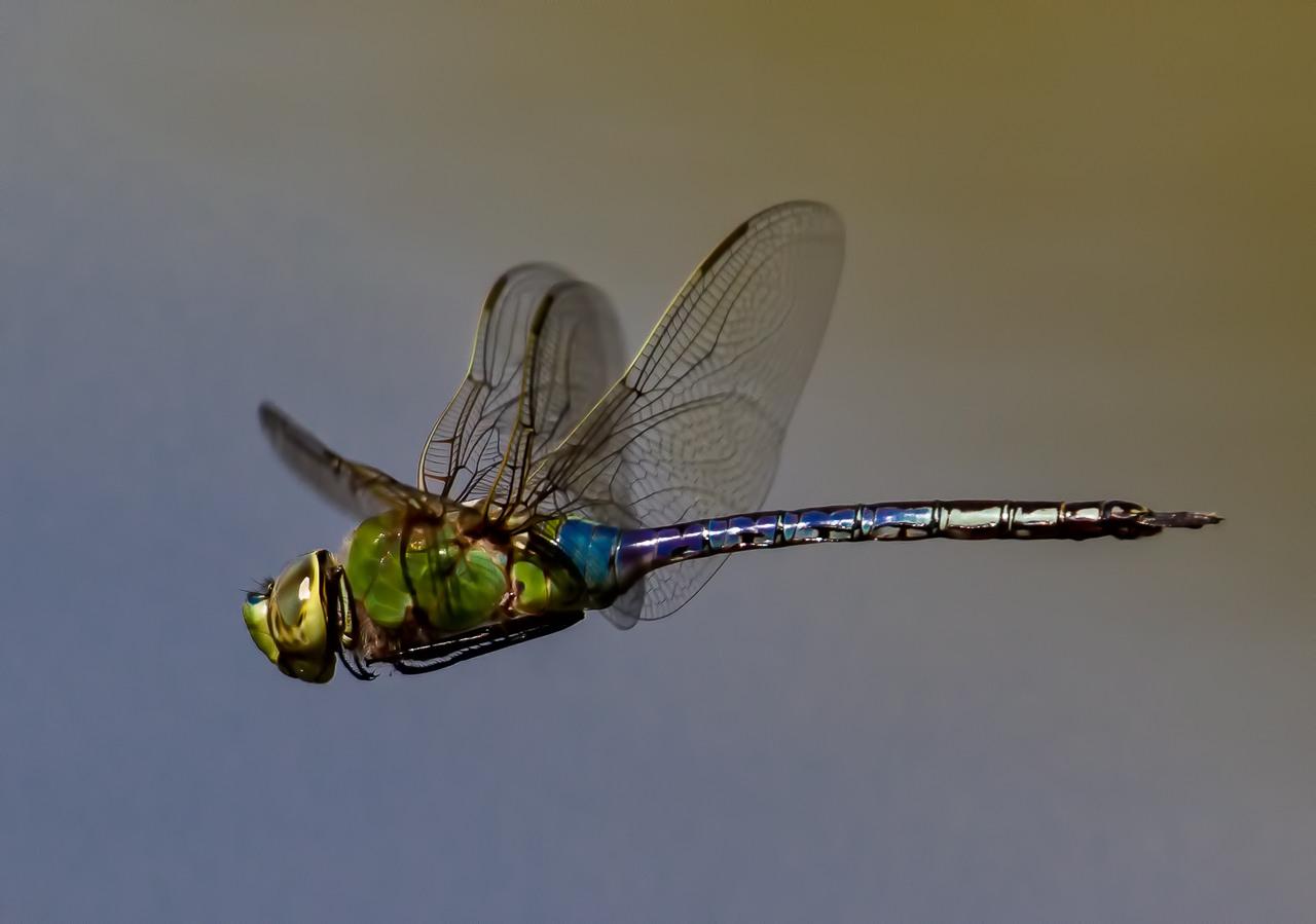 Green Darner Dragonfly - Larry Weinman - WWPC