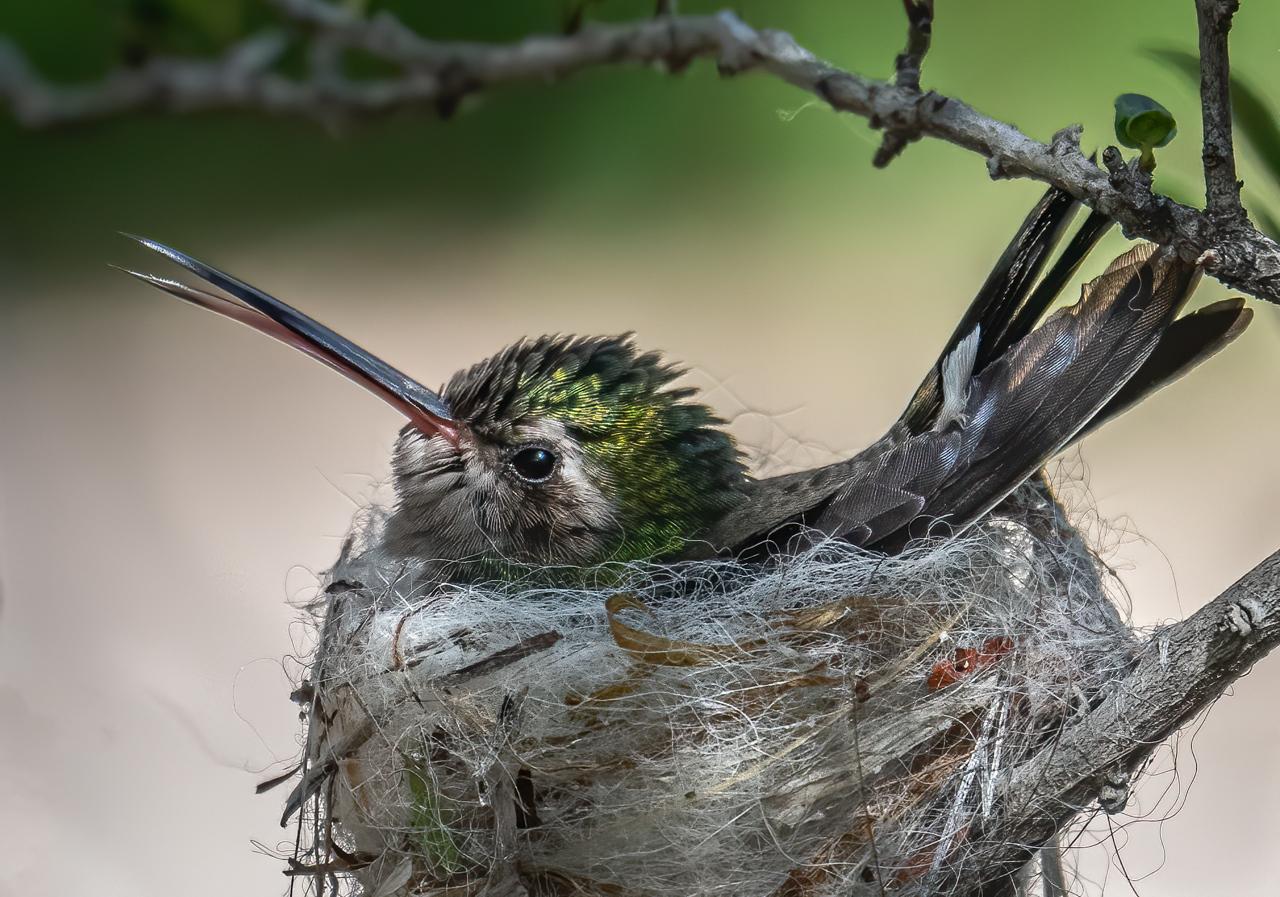 Nesting Hummingbird - Valarie Anderson - SPCC