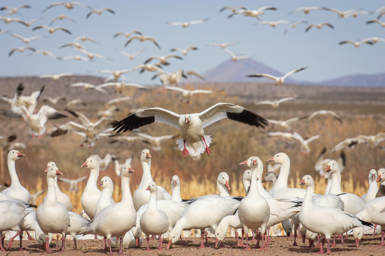 Snow Goose Landing - Karl Fiegenschuh - MNPC