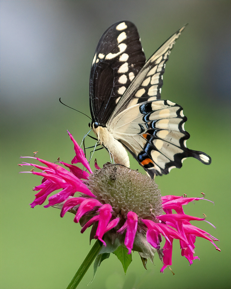 Swallowtail Nectoring - Sandra Swanson - MNPC