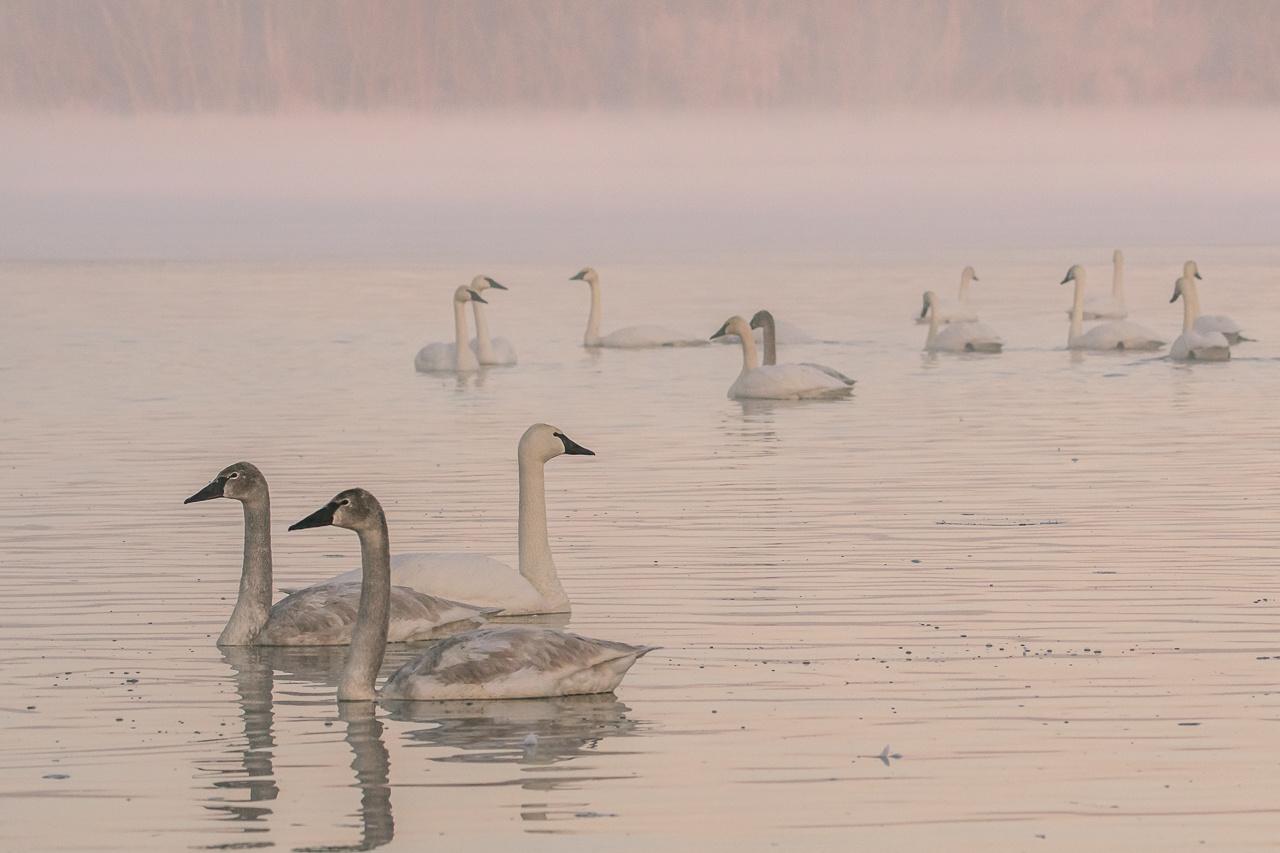 Trumpeter Swans at Sunrise - Scott Landseidel - MNPC