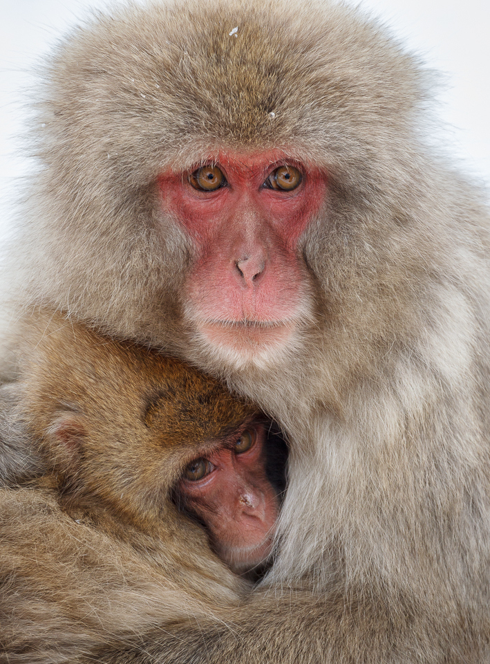 1st-place Image of the Year - Macaque Mother and Child - Karl Fiegenschuh - Minnesota Nature Photography Club