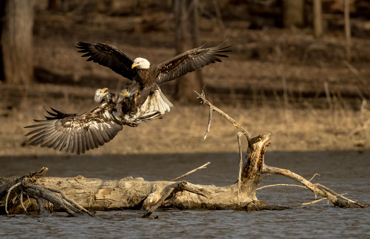 Honorable Mention - Eagles Sparring - Joe Fierst - Minnesota Nature Photography Club