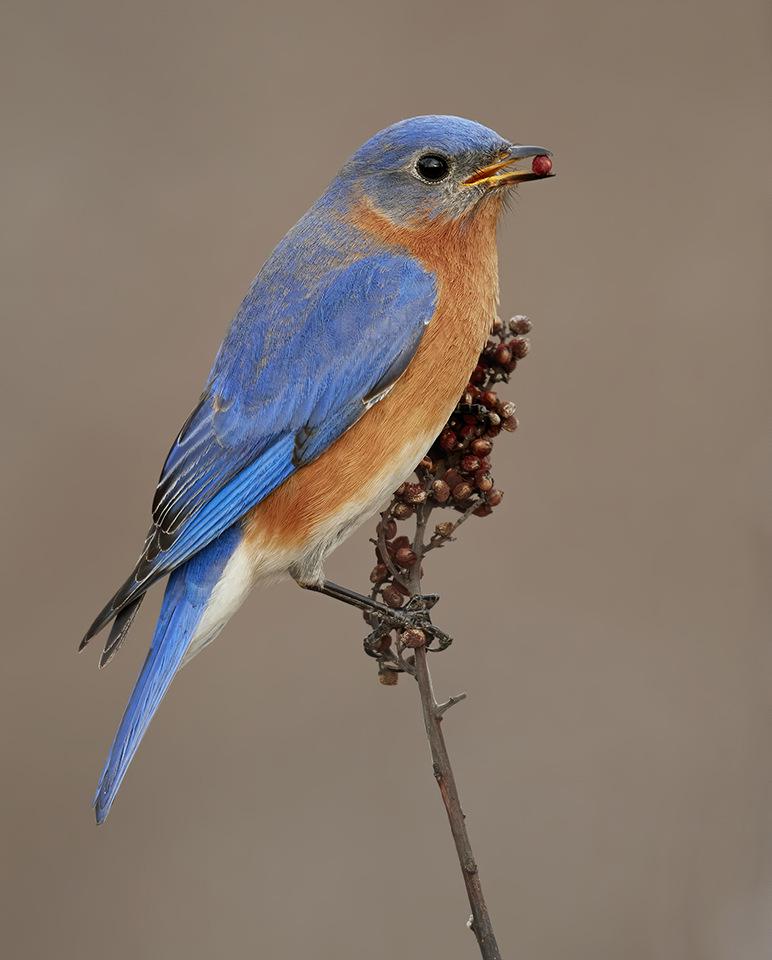 Award - Eastern Bluebird - Paul Kammen - Minnesota Nature Photography Club