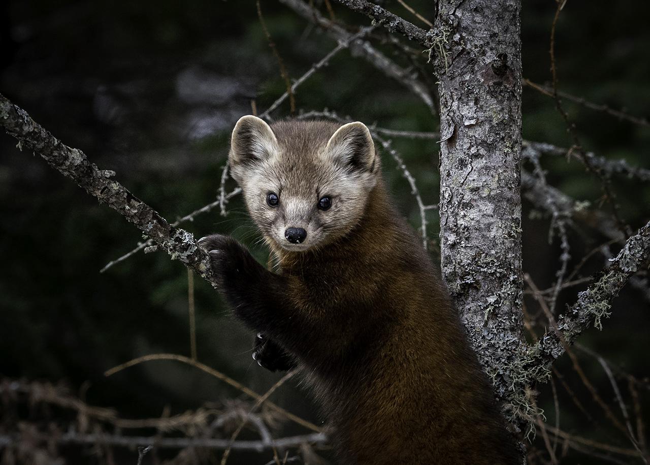 Award - Curious Pine Marten - Jill Bauer - Tamarack Nature Center Photography Club
