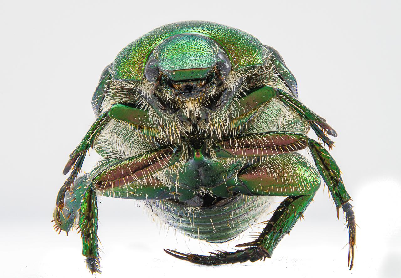 Honorable Mention - Beetle - Paul Bullock - Tamarack Nature Center Photography Club