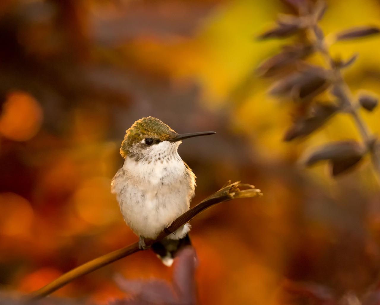 Honorable Mention - Colorful Hummingbird - Joe Fierst - Minnesota Nature Photography Club