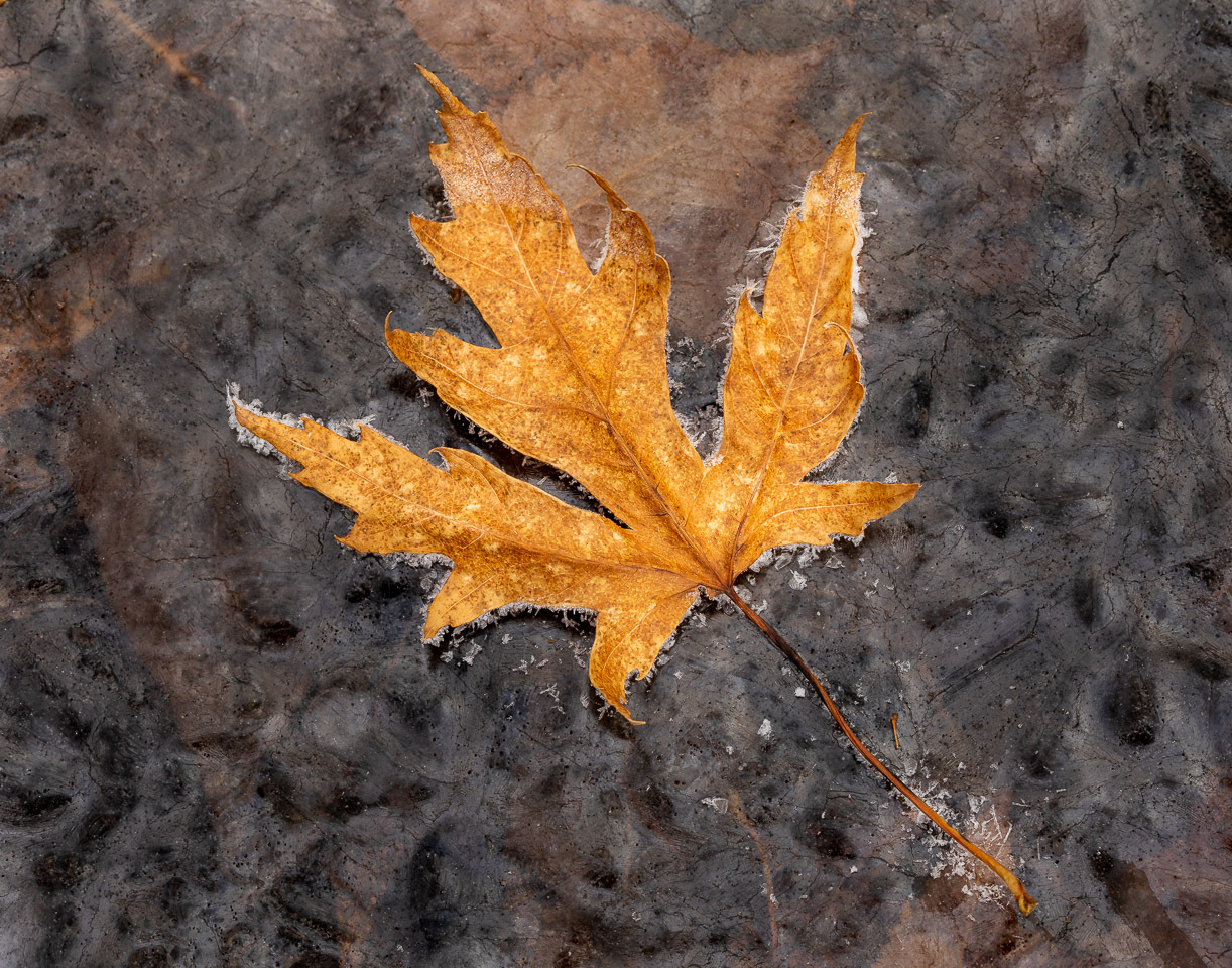 Honorable Mention - Frozen Leaf - Rick Graves - Minnesota Valley Photography Club