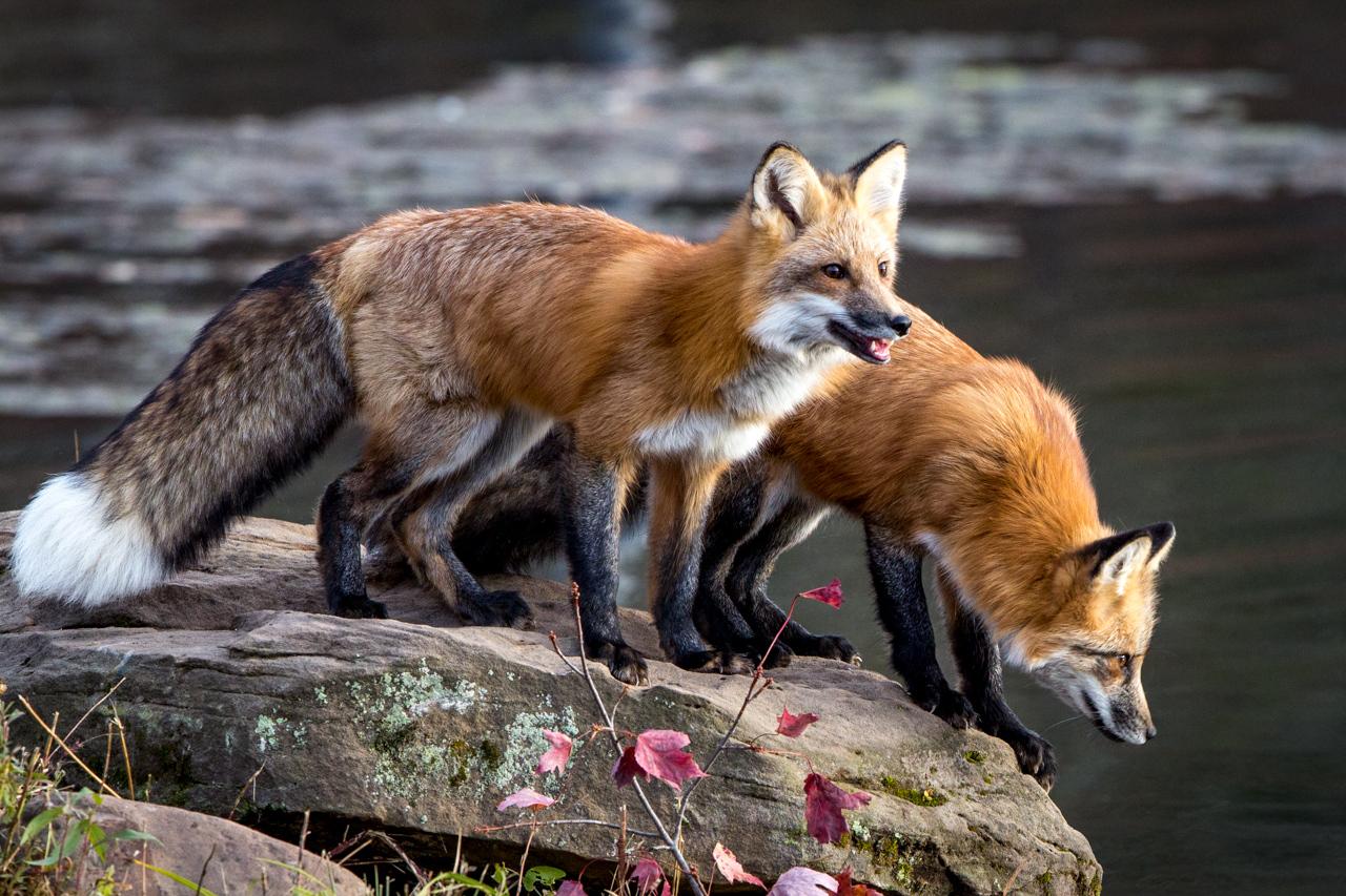 Award - Twin Foxes - Doug Heimstead - North Metro Photo Club