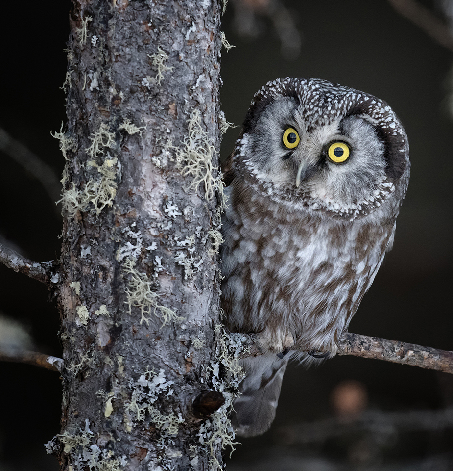 Honorable Mention - Friendly Boreal Owl - Paul Kammen - Minnesota Nature Photography Club