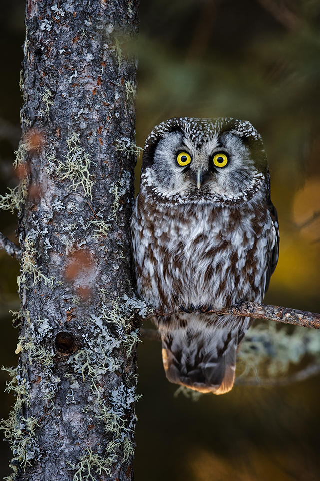 2nd Place Runner Up - Boreal Owl - Paul Kammen - Minnesota Nature Photography Club