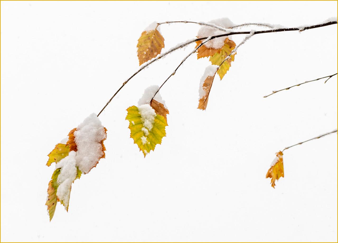 Birch Haiku - Leanne Zeller - MCC