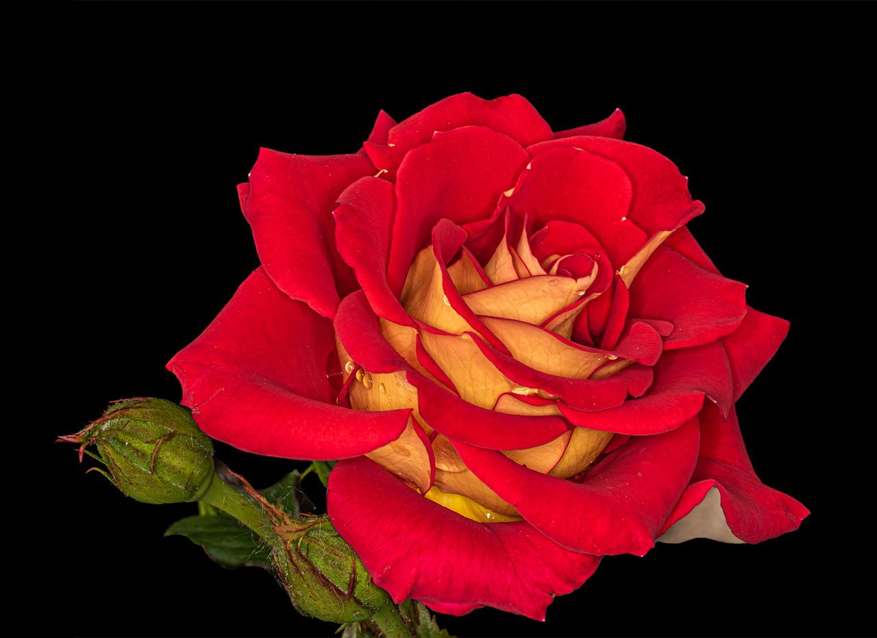 Lyndale Gardens Rose - Valarie Anderson - SPCC